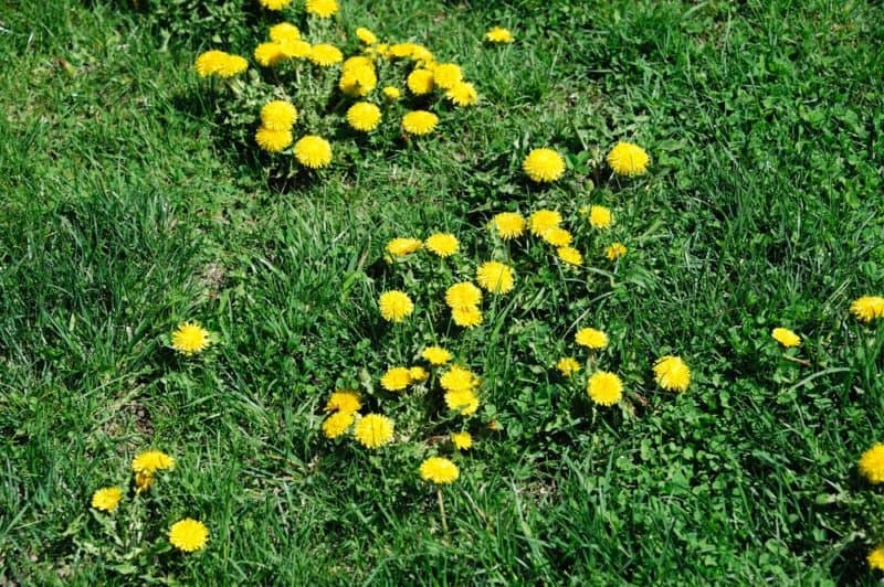 The best weed control  for dandelion.