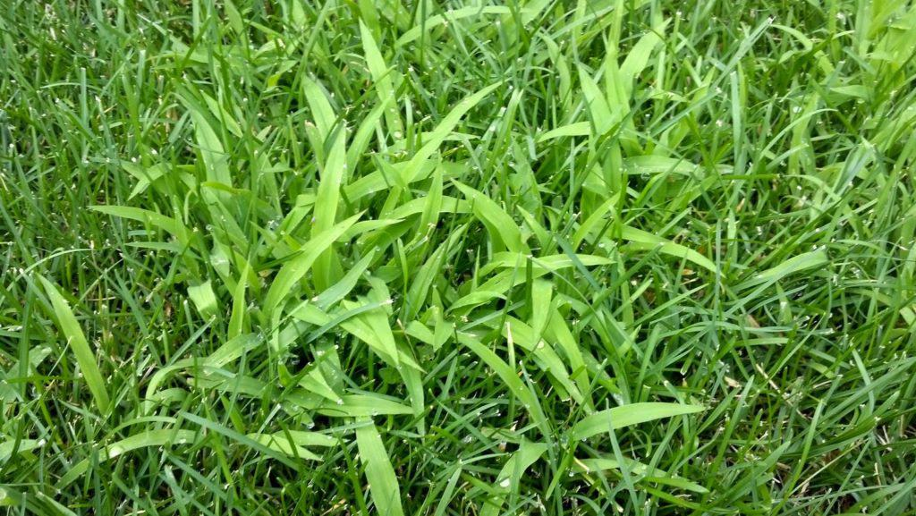 Crabgrass Pre-Emergent